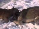 Волк против собаки 3gp