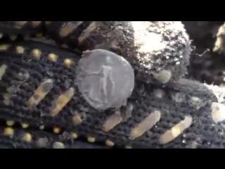 В поисках золота Пятак Пару монет рима застежка чк Коп
