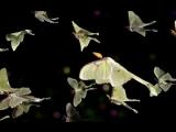 Мадагаскарская комета, африканская лунная моль — очень крупная ночная бабочка из семейства павлиноглазок.