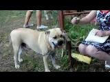 160807 Выставка собак г.Кунгур (4)