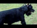 160807 Выставка собак г.Кунгур (8)