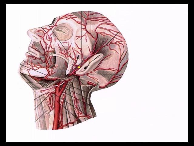 Общая сонная артерия: топография, ветви, области кровоснабжения