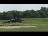 Гигантский аллигатор внезапно появился на поле для гольфа