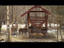 Сюжет: в одном из охотхозяйств Рязанской области разводят благородных и пятнистых оленей
