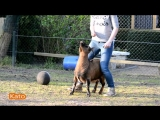 Козлята выполняют трюки как собаки