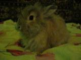 Мой кролик Френк умывается.