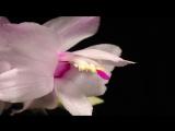 7.Christmas Cactus flower time lapse. Schlumbergera