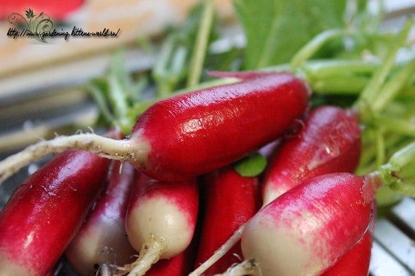 Выращивание редиса, посадка и уход