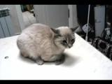 Кошка с переломом плеча. Видео до операции.