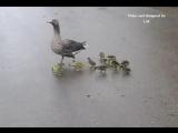 Гусята на прогулке )))
