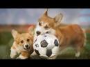 Самая популярная порода собак 2017 - Вельш-Корги Пемброк (Welsh Corgi Pembroke) Подборка № 2