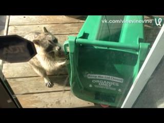 Енот ворует мусорный бак