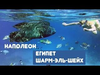 Рыба Наполеон и девушка (снорклинг) Египет 2012 Шарм-Эль-Шейх | Пляж Dessole Royal Rojana Resort