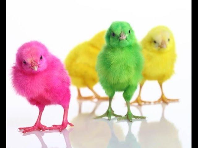 Цветные цыплята Цып цып мои цыплятки Веселая песенка для малышей