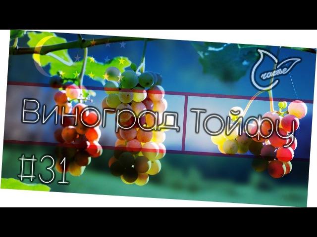 Спелый узбекский виноград Тойфу | Обзор фруктов Андрей_Счастье сыроедение фрукторианство raw