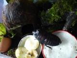 Мадагаскарский таракан Федя