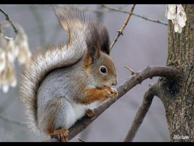Белочка не боится людей,близко подпускает.Лыжная база.Бузулук.Squirrel not afraid of people.