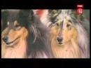 Все породы собак Колли