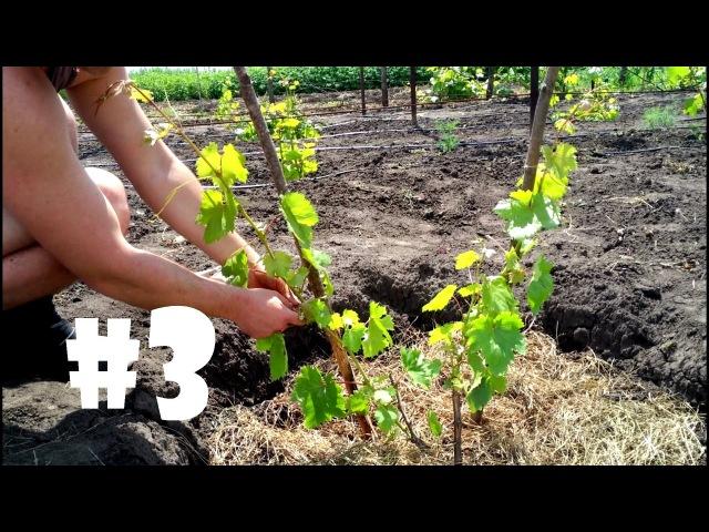 Уход за однолетним кустом винограда подвязка пасынкование