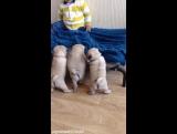 Мальчик и маленькие мопсики