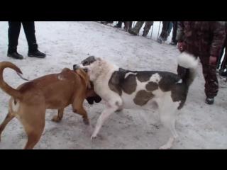 Собачьи бои тоса ину vs кавказский волкодав чемпионат Урала