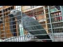 такуа-попугай