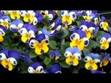 Улыбки цветочков