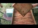 Сильні бджолині сім'ї - пасічник з прибутком. Сильные пчелиные семьи - пчеловод с