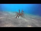 Amazing Free Swimming Feather Starfish