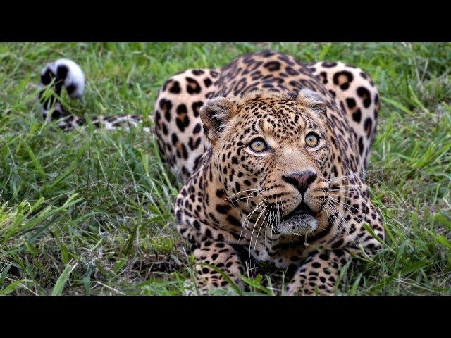 Леопарды - Охота хищных Животных. NatGeoWild