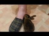 Кролик лижет ногу