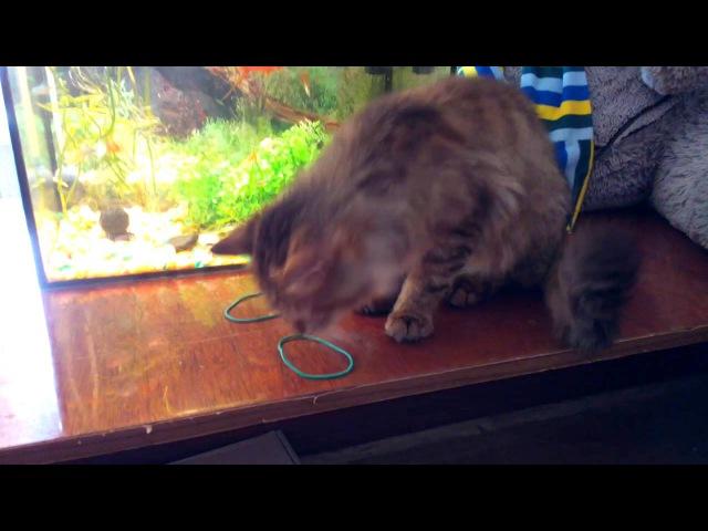 Кот играет с резинкой