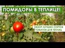 Помидоры для теплиц Обзор лучших сортов томатов