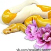 Regius Pythons Breeders Team