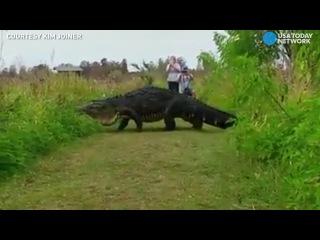 This giant alligator looks like a dinosaur