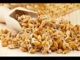 Как правильно прорастить зерна пшеницы