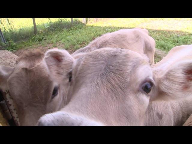Производство фермерского молока и сыра в д.Аладьино