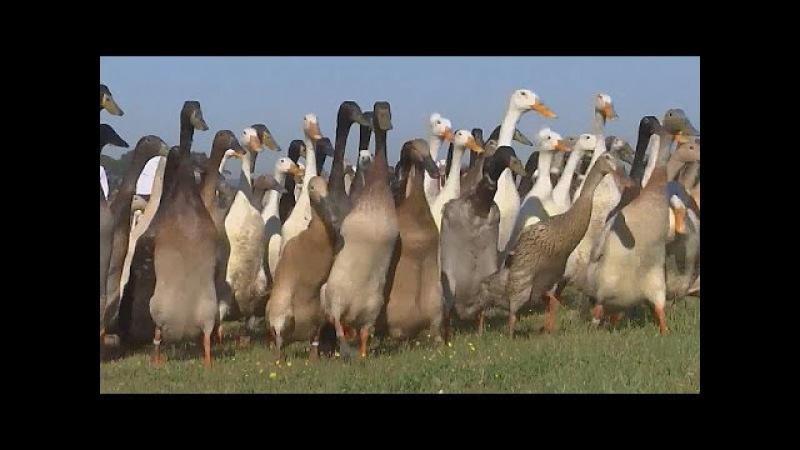 В ЮАР с вредителями на виноградниках борются утки (новости)