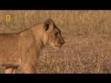 Львы хулиганы Документальные фильмы, передачи HD