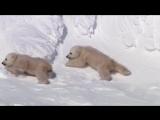 Planet Earth - Polar Bear