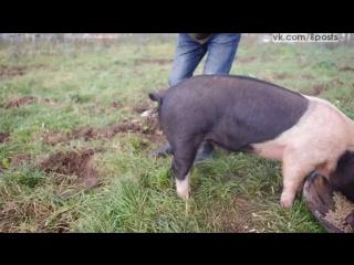 Как выпрямить хвосты у свиней / How to straighten a pigs tail!