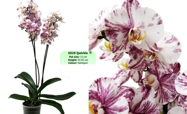 орхидея qwirkle фото