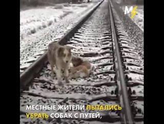 Пёс двое суток не отходил от раненой подруги.