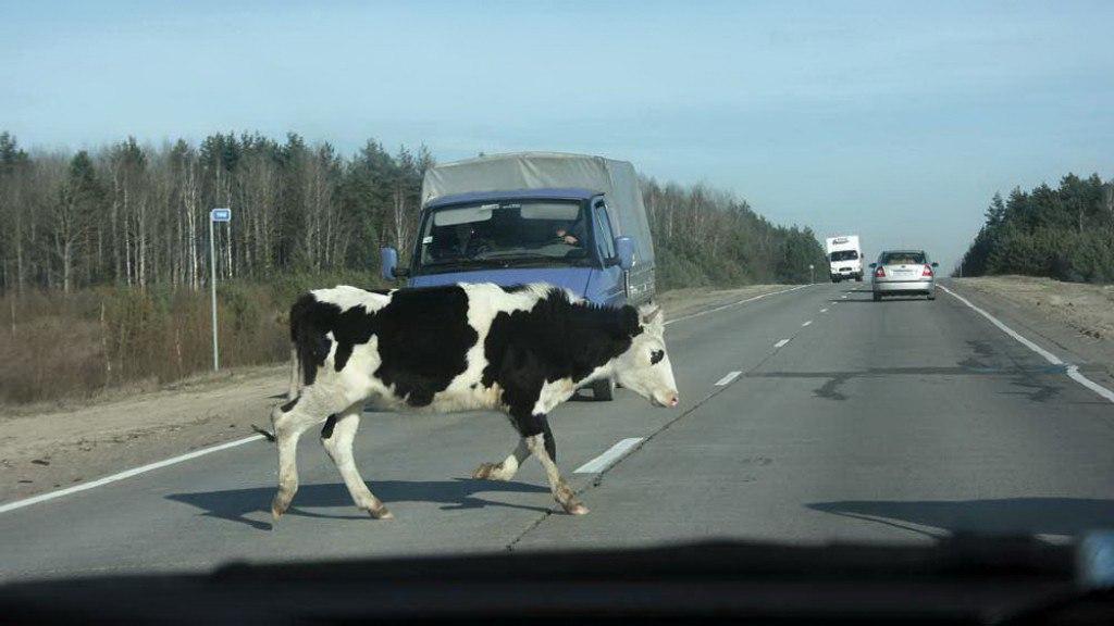 Корова попала в ДТП, отлетела на обочину и придавила погонщика