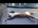 Кот извращенец. Жидкий кот. Подстава. Пьяный угар. Кот боксер. Внезапный удар. С б ...