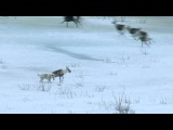 Wolf hunts caribou - Nature's Epic Journeys Episode 2 Preview - BBC One