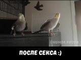 Попугаи после секса