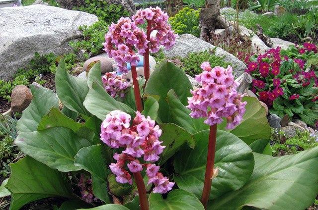 Бадан, как уникальный целитель и украшение сада
