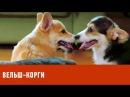 Вельш-корги. Планета собак спешит на помощь 🌏 Моя Планета