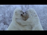 Polar Bear Fight - Nature's Great Events - BBC